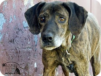 Plott Hound Dog for adoption in Marlinton, West Virginia - Stubby--RESCUED!