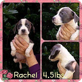 Labrador Retriever Mix Puppy for adoption in Shaw AFB, South Carolina - Rachel