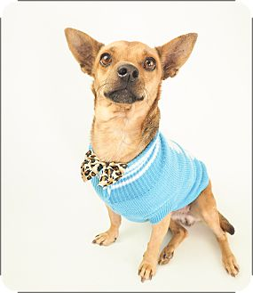 Chihuahua/Miniature Pinscher Mix Dog for adoption in Phoenix, Arizona - BOO!