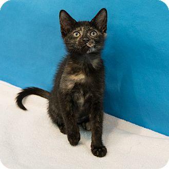 Domestic Shorthair Kitten for adoption in Houston, Texas - Mabel