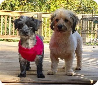 Poodle (Miniature)/Terrier (Unknown Type, Medium) Mix Dog for adoption in Brownsboro, Alabama - Emerson and Lake