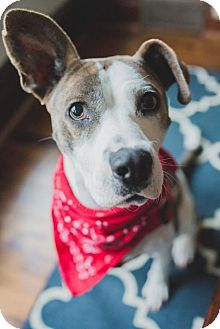 American Pit Bull Terrier Mix Dog for adoption in Edina, Minnesota - Tenley D161022
