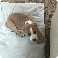 Adopt A Pet :: CAGNEY - Albuquerque, NM