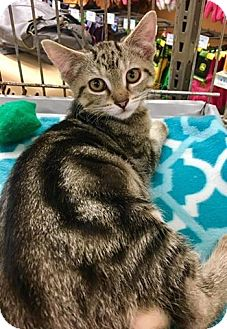Domestic Shorthair Kitten for adoption in Franklin, Indiana - Bogie