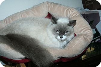 Himalayan Cat for adoption in Santa Rosa, California - Melody