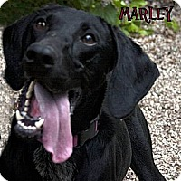 Adopt A Pet :: Marley LOVES TO PLAY - Antioch, IL