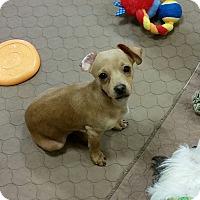Adopt A Pet :: Ralphie - chiweenie pup - Phoenix, AZ