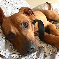 Adopt A Pet :: Dixon - Reisterstown, MD