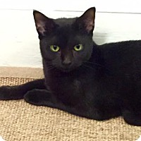 Domestic Shorthair Cat for adoption in New York, New York - Keisha