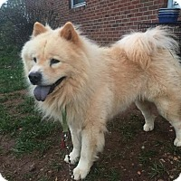 Chow Chow Dog for adoption in Dix Hills, New York - NANOOK