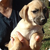 Adopt A Pet :: Gus - Hagerstown, MD