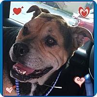 Adopt A Pet :: Chino - Miami, FL