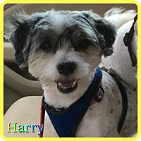 Adopt A Pet :: Harry - Hollywood, FL