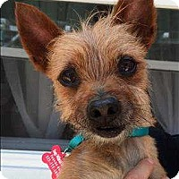 Adopt A Pet :: Mr. Fox - Encino, CA