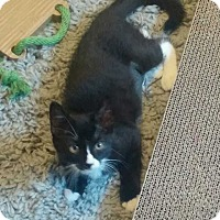 Domestic Shorthair Kitten for adoption in Jackson, New Jersey - Sasha