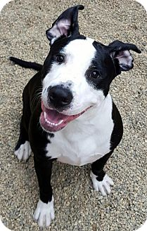American Pit Bull Terrier Dog for adoption in Bloomington, Illinois - Pandy