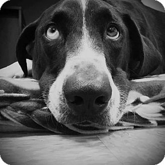 Labrador Retriever/Pointer Mix Dog for adoption in Taneytown, Maryland - Sampson Adoption Pending Congrats Anthony Family!