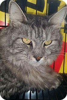 Maine Coon Cat for adoption in Gibbstown, New Jersey - Ash