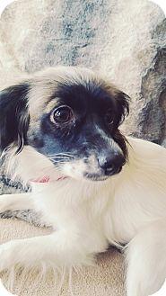 Papillon Mix Puppy for adoption in Monrovia, California - Zoey