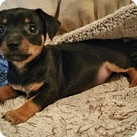 Adopt A Pet :: Dunkel-Fostered in KC - Bridgeton, MO