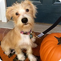 Terrier (Unknown Type, Medium) Mix Dog for adoption in Alpharetta, Georgia - Gifford