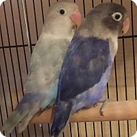 Adopt A Pet :: Pearl and Amethyst - Tampa, FL