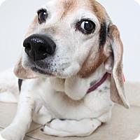 Adopt A Pet :: Bella D161840: PENDING ADOPTION - Edina, MN
