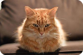 Domestic Longhair Cat for adoption in Los Angeles, California - Kensi