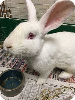 Flemish Giant Mix for adoption in Edinburg, Pennsylvania - Jumper