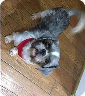 Shih Tzu Dog for adoption in Doylestown, Pennsylvania - Darla