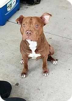 Pit Bull Terrier Mix Dog for adoption in corinne, Utah - Hopper