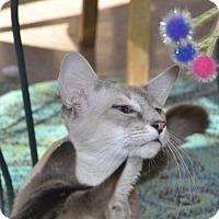 Adopt A Pet :: Mr. Love Muffin - Glendale, AZ