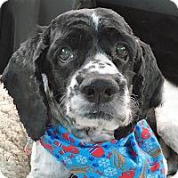 Adopt A Pet :: Tezz - Newington, VA