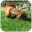 Photo 2 - Dachshund Dog for adoption in Garden Grove, California - Charlotte