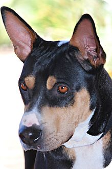 Australian Kelpie Mix Dog for adoption in Scottsdale, Arizona - Kara