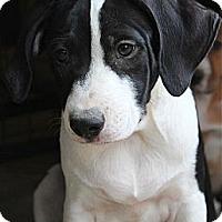 Adopt A Pet :: PRESLEY - Plano, TX