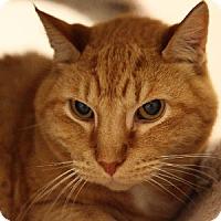 Adopt A Pet :: Chester - Gilbert, AZ