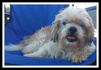 Shih Tzu/Lhasa Apso Mix Dog for adoption in Winchester, California - MR. MAGOO