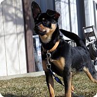 Adopt A Pet :: Capicola - Meridian, ID