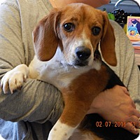 Adopt A Pet :: Lucy(24 lb) Great Family Pet! - Sussex, NJ