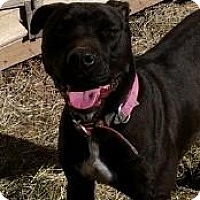 Pit Bull Terrier/Labrador Retriever Mix Dog for adoption in Cleveland, Texas - Puppy