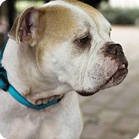Adopt A Pet :: Meatball - Baton Rouge, LA