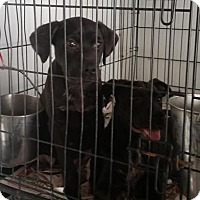 Adopt A Pet :: Puppies - black lab mix - Pembroke, GA