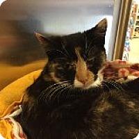 Adopt A Pet :: Kalico - Manchester, CT