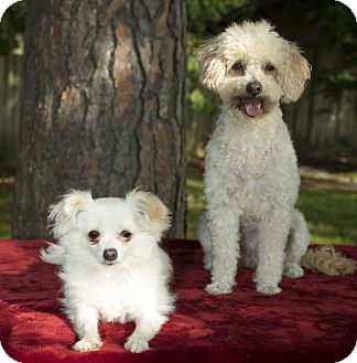 Poodle (Miniature)/Chihuahua Mix Dog for adoption in Alvin, Texas - Candy and Carmelita--bonded honeys-S