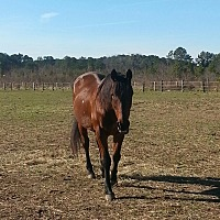 Standardbred for adoption in Salisbury, Maryland - Smarty