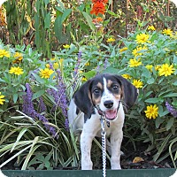 Adopt A Pet :: MARGO - Bedminster, NJ