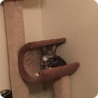 Domestic Shorthair Cat for adoption in Cincinnati, Ohio - Hettie