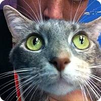 Adopt A Pet :: Ollie Cat - Homestead, FL