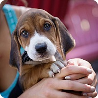 Adopt A Pet :: Clairese - Brattleboro, VT